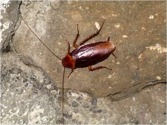 Kackerlackan som gärna vill bo i min sko. Foto: Beate Hillmann, SLU.