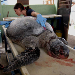 Veterinary surgeon Carolina Garcia examining a dead sea turtle. Photo: David Acuna.