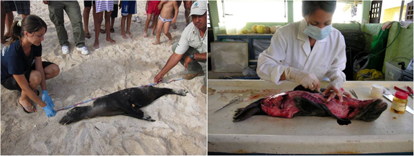 A sea lion found dead at Santa Cruz Island. Veterinary surgeon Carolina Garcia doing the necropsy. Photo: David Acuna.