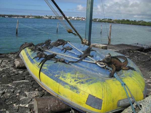 En eftertraktad plats bland de marina havsödlorna är Biomar-labbets båt. Foto: Beate Hillmann.
