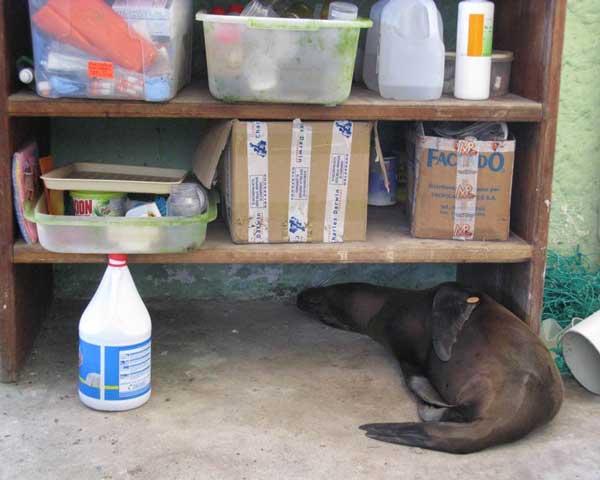 En ung sjölejonhona som alltid försöker att smyga sig in i labbets förbjudna områden. Här lyckades hon att hitta en sovplats under en hylla. Foto: Beate Hillmann.