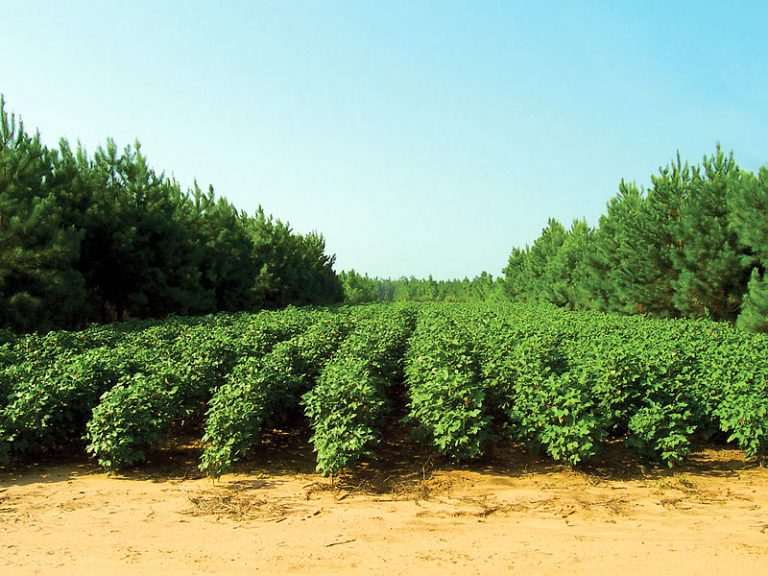 Agroforestry - pines and cotton